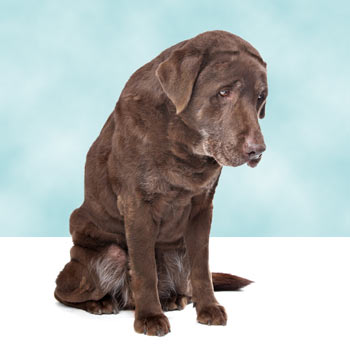 labrador with muscle wasting