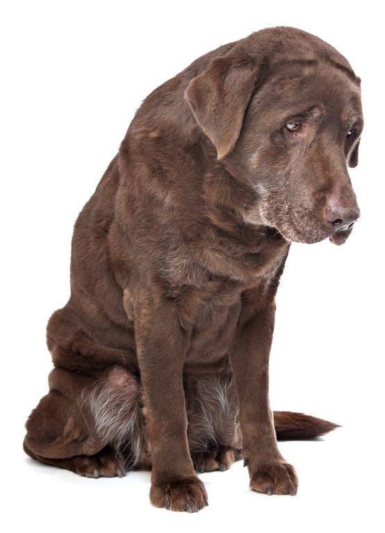 older labrador with muscle wasting